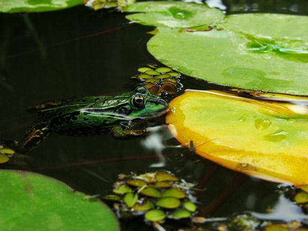 ranas - fotografía de la rana animales y pájaros